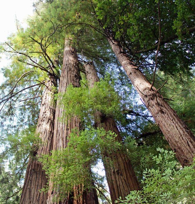 Dit zijn de hoogste bomen ter wereld